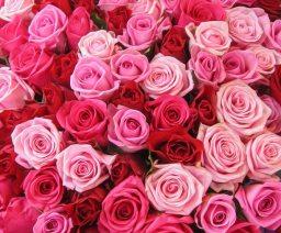 Rose-oil-Aromatherapy
