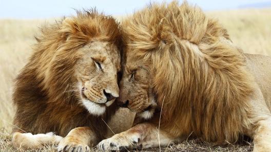 beautiful-mountain-lion-cubs-high-definition-wallpaper-for-widescreen-desktop-background