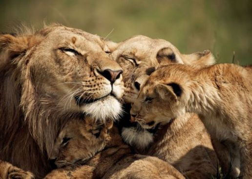lion-family-hugs-and-love