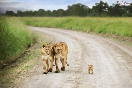 lion-family-wallpaper-600x400